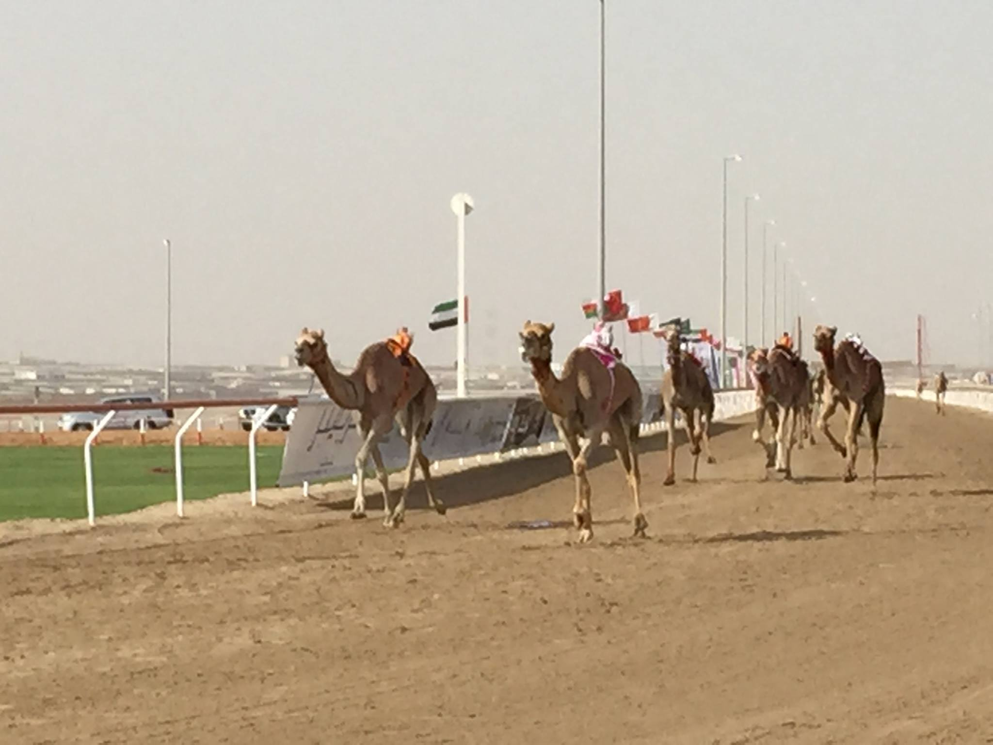 camels crossing the finish line